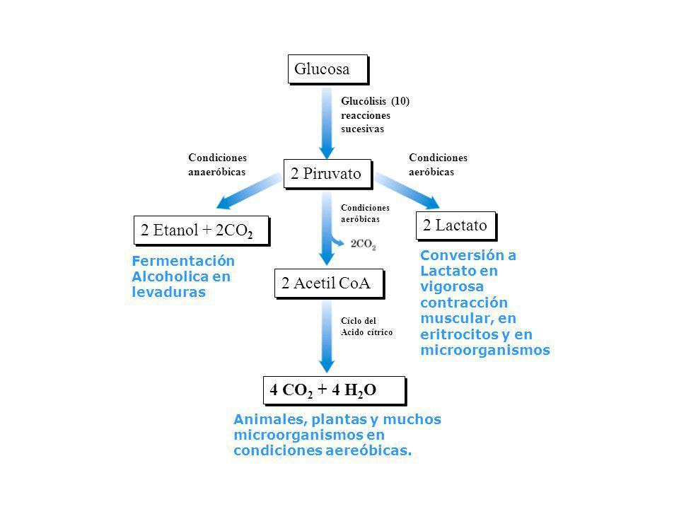 Glucosa 2 Piruvato 2 Acetil CoA 2 Etanol + 2CO 2 2 Etanol + 2CO 2 2 Lactato Glucólisis (10) reacciones sucesivas Condiciones anaeróbicas Condiciones a