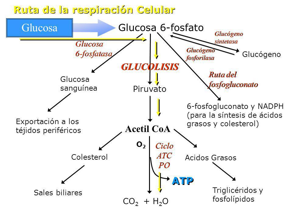 Glucosa 6-fosfatasa Glucosa sanguínea Exportación a los téjidos periféricos Acetil CoA Colesterol Sales biliares 6-fosfogluconato y NADPH (para la sín
