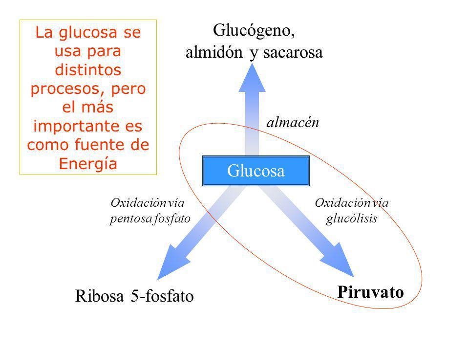 Glucosa Glucógeno, almidón y sacarosa almacén Oxidación vía pentosa fosfato Ribosa 5-fosfato Oxidación vía glucólisis Piruvato La glucosa se usa para