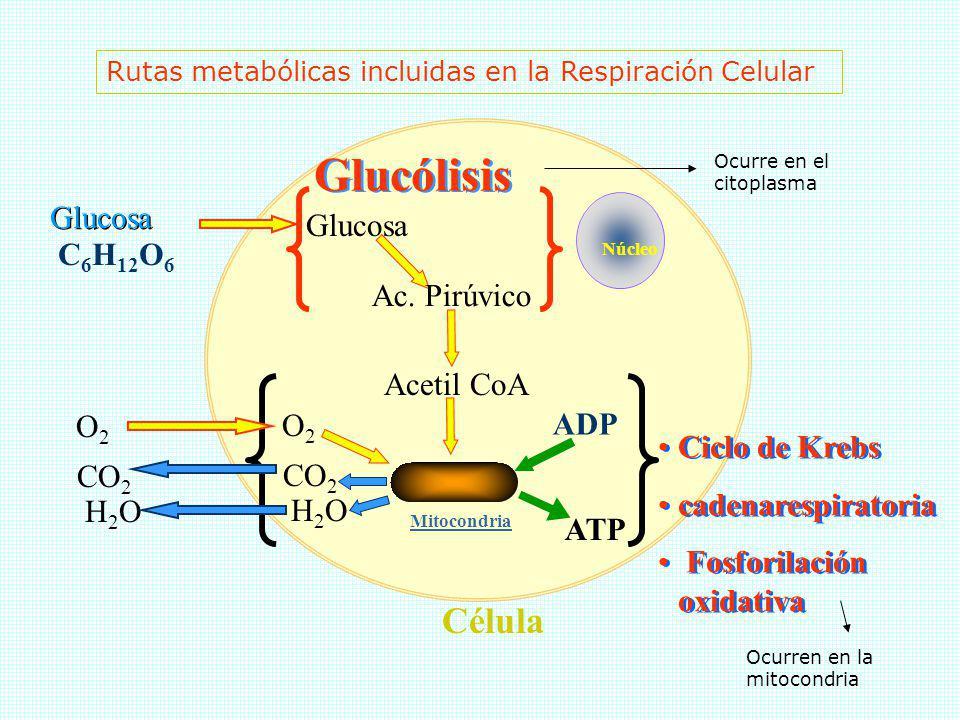 Célula Núcleo Mitocondria Glucosa Ac. Pirúvico Acetil CoA ADP ATP Glucólisis Ciclo de Krebs cadenarespiratoria Fosforilación oxidativa Ciclo de Krebs