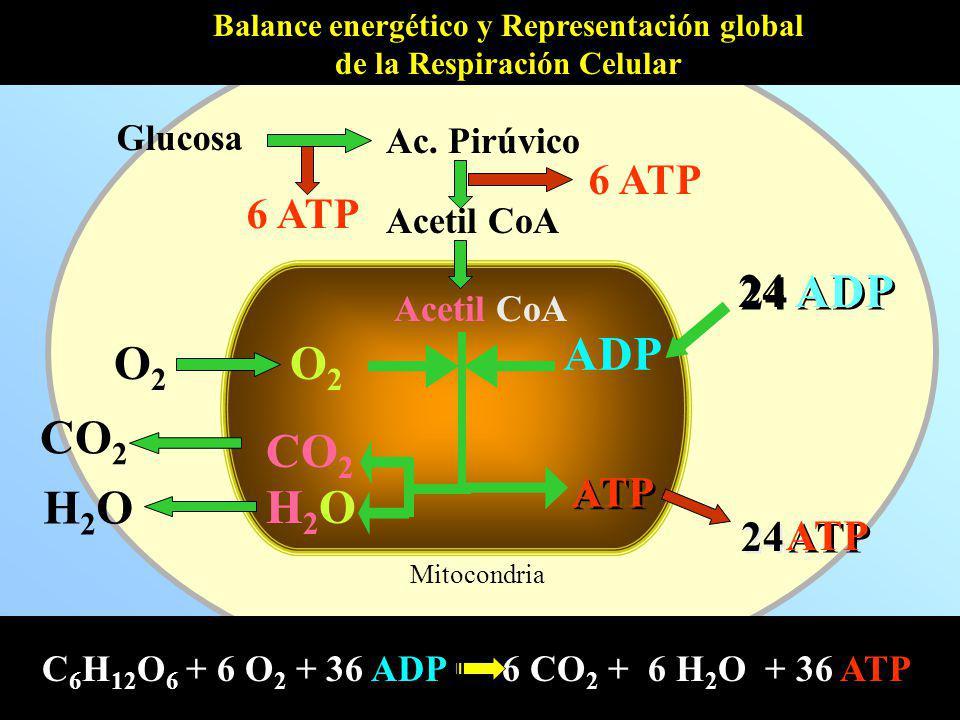 Mitocondria Acetil CoA O2O2 O2O2 CO 2 H2OH2O H2OH2O ADP 24 ADP Balance energético y Representación global de la Respiración Celular Acetil CoA Ac. Pir