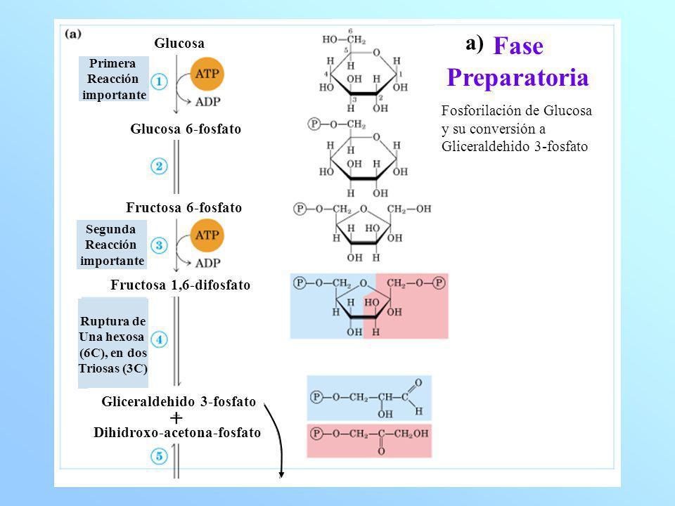 Fase Productora de Energía Conersión Oxidativa de G3P a Piruvato y su acoplamiento en la formación de ATP y NADH Gliceraldehido 3-Fosfato 1,3-Difosfoglicerato 3-fosfoglicerato 2-fosfoglicerato Fosfoenol-piruvato Piruvato Oxidación y Fosforilación 1a.