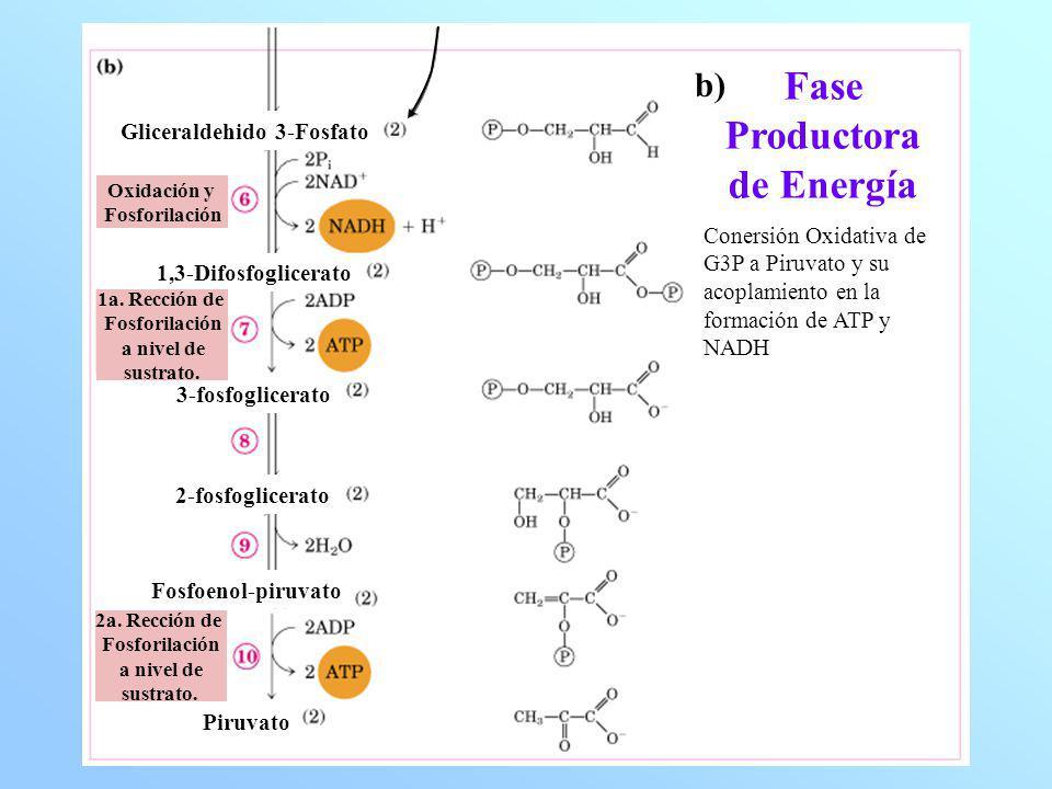 Fase Productora de Energía Conersión Oxidativa de G3P a Piruvato y su acoplamiento en la formación de ATP y NADH Gliceraldehido 3-Fosfato 1,3-Difosfog