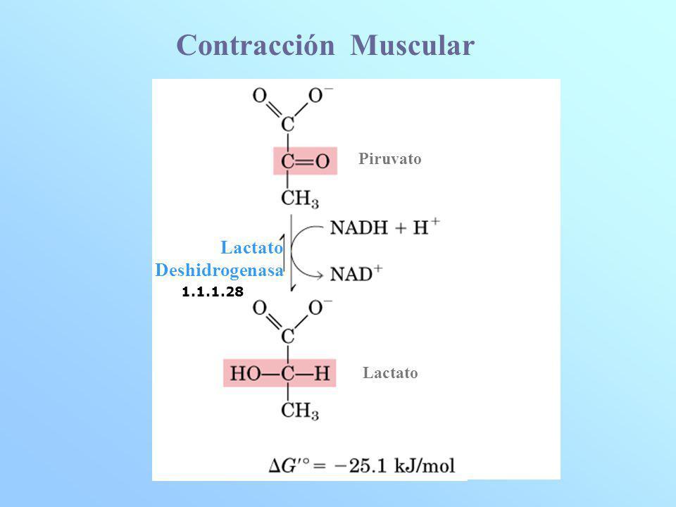 Oxidación a Acetil CoA Lactato Complejo Piruvato Deshidrogenasa NAD + NADH + H + + HS- CoA S- CoA Piruvato Acetil CoA + CO 2