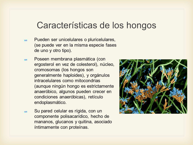 Estructura de los hongos El cuerpo del hongo tiene dos porciones, reproductiva y vegetativa.