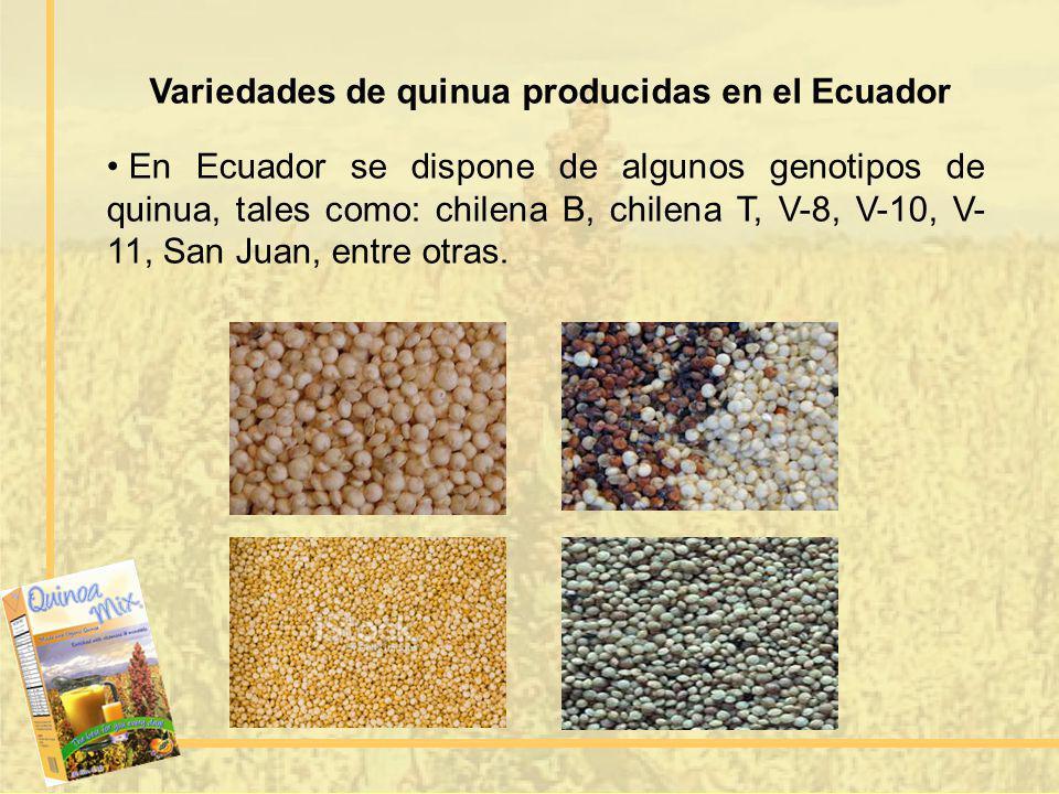 Variedades de quinua producidas en el Ecuador En Ecuador se dispone de algunos genotipos de quinua, tales como: chilena B, chilena T, V-8, V-10, V- 11