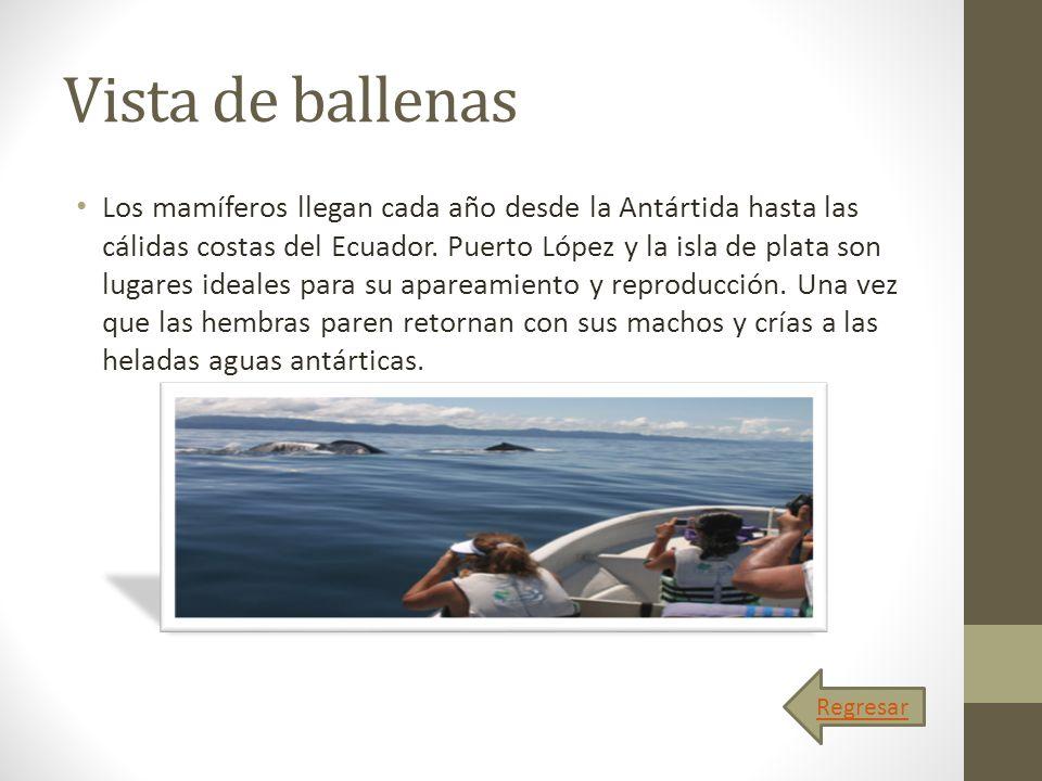 Vista de ballenas Los mamíferos llegan cada año desde la Antártida hasta las cálidas costas del Ecuador. Puerto López y la isla de plata son lugares i