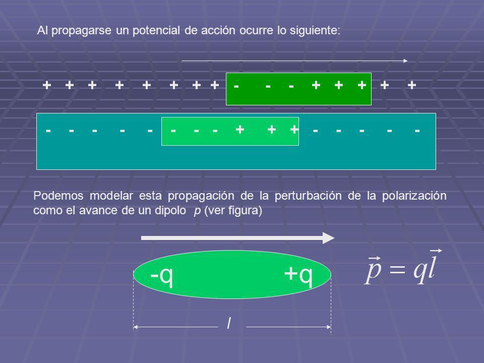 Al propagarse un potencial de acción ocurre lo siguiente: - - - - - - - - + + + - - - - - + + + + + + + + - - - + + + + + Podemos modelar esta propaga