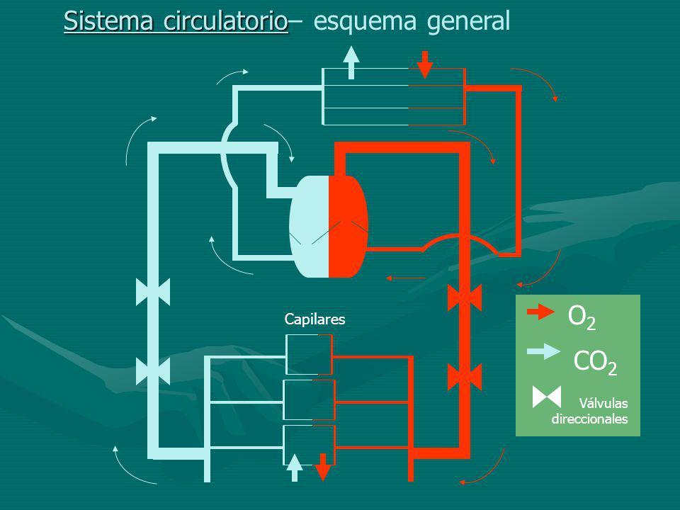 Sistema circulatorio Sistema circulatorio– esquema general Capilares O2O2 CO 2 Válvulas direccionales