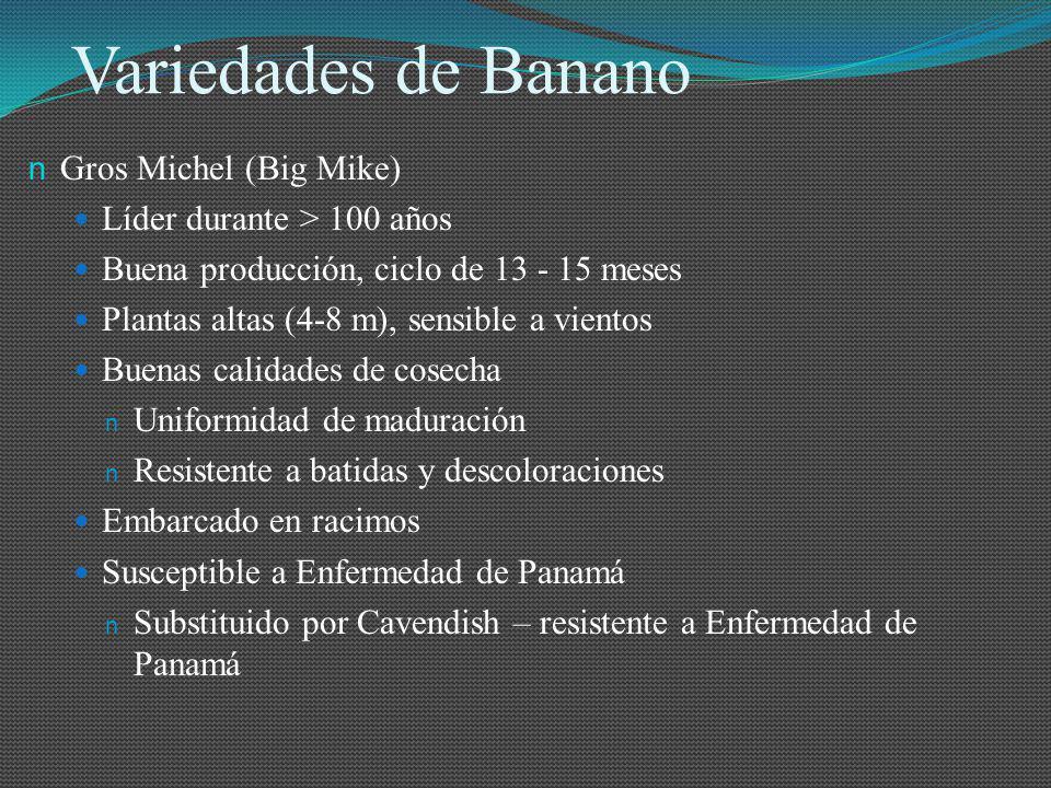 Variedades de Banano n Gros Michel (Big Mike) Líder durante > 100 años Buena producción, ciclo de 13 - 15 meses Plantas altas (4-8 m), sensible a vien