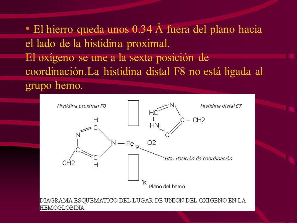 CENTRO DE UNIÓN AL OXÍGENO EN LA MIOGLOBINA El grupo hemo esta localizado en una oquedad en la molécula de mioglobina. Las cadenas de propionato del h