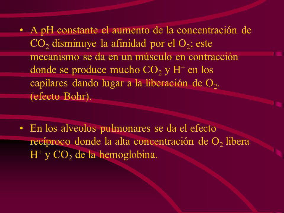 En la hemoglobina la acidez estimula la liberación de O 2. La disminución del pH reduce la afinidad por el O 2 lo que permite su liberación.