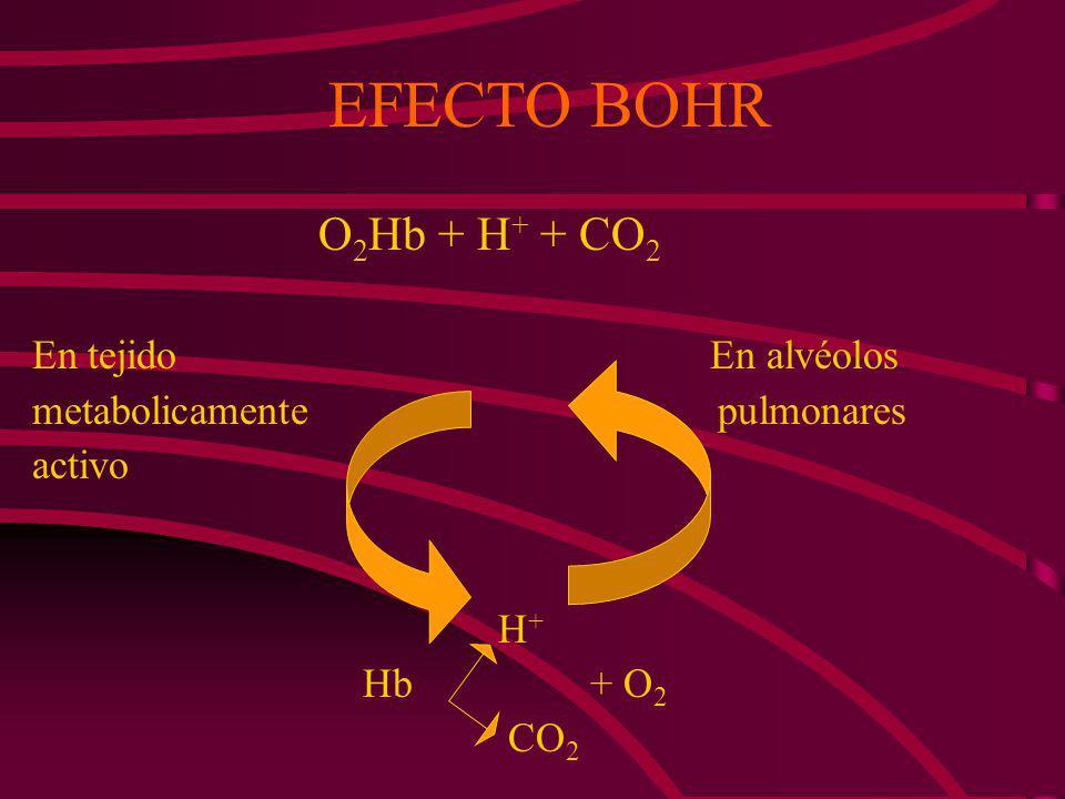 A pH constante el aumento de la concentración de CO 2 disminuye la afinidad por el O 2 ; este mecanismo se da en un músculo en contracción donde se pr