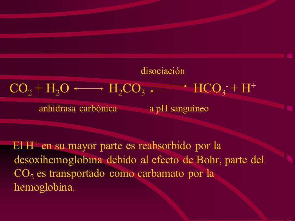 El CO 2 se une a los grupos amino terminales de la hemoglobina y así reduce la afinidad por el O 2. Por cada molécula de O 2 consumida, se producen 0.