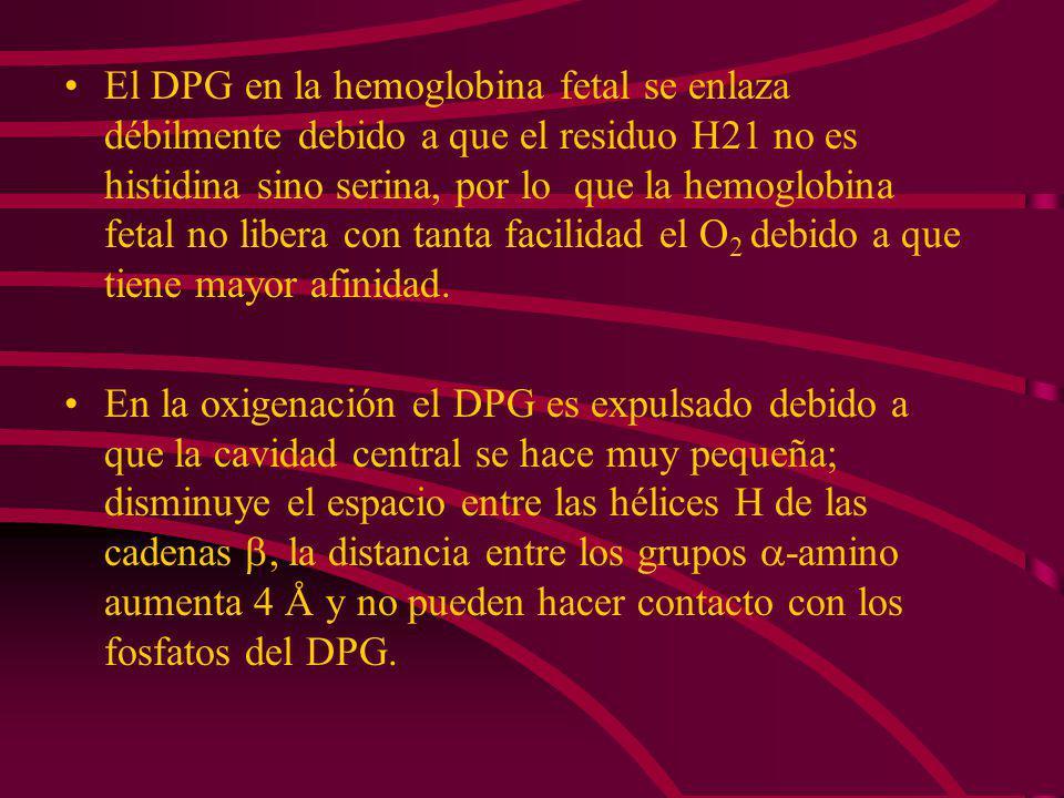 Un DPG se une por cada tetrámero de hemoglobina. El DPG está cargado negativamente. El DPG se une sobre el eje de simetría de la molécula de hemoglobi