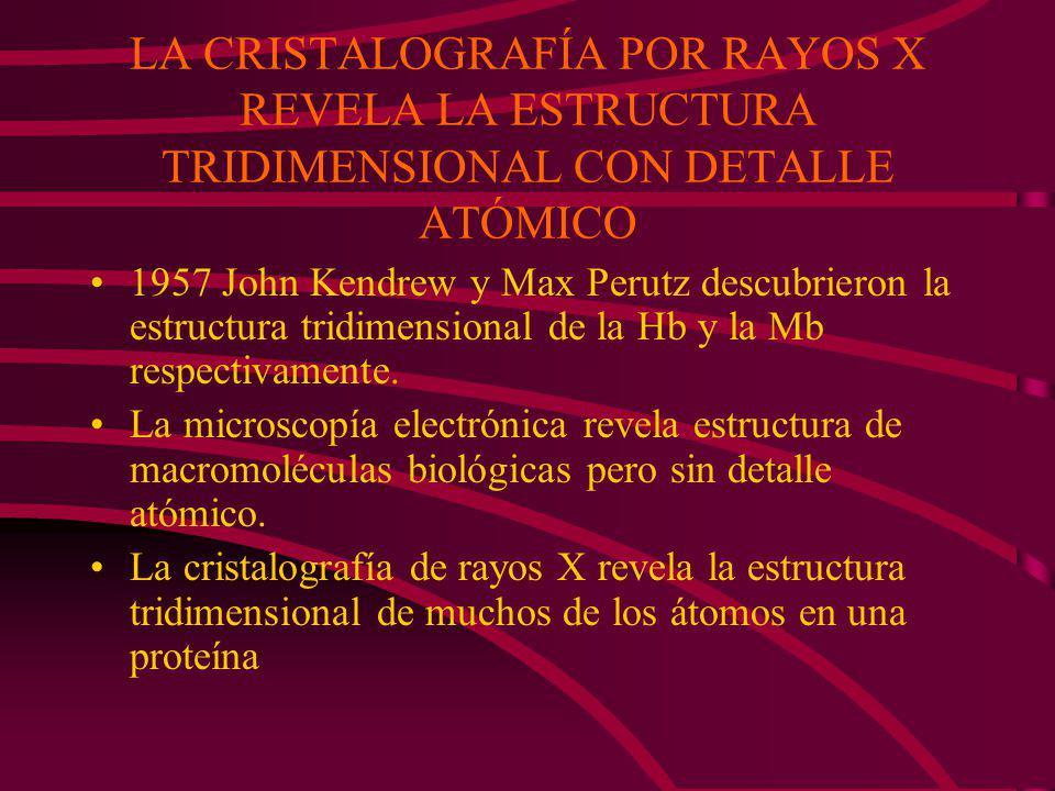 LA CRISTALOGRAFÍA POR RAYOS X REVELA LA ESTRUCTURA TRIDIMENSIONAL CON DETALLE ATÓMICO 1957 John Kendrew y Max Perutz descubrieron la estructura tridimensional de la Hb y la Mb respectivamente.