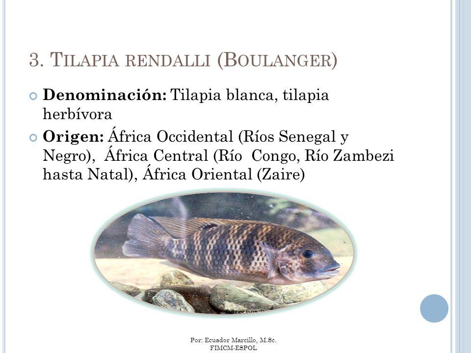 Por: Ecuador Marcillo, M.Sc. FIMCM-ESPOL 3. T ILAPIA RENDALLI (B OULANGER ) Denominación: Tilapia blanca, tilapia herbívora Origen: África Occidental