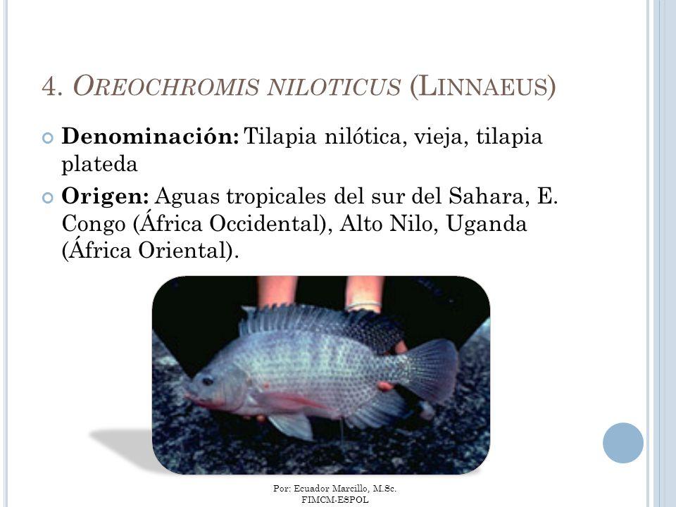 Por: Ecuador Marcillo, M.Sc. FIMCM-ESPOL 4. O REOCHROMIS NILOTICUS (L INNAEUS ) Denominación: Tilapia nilótica, vieja, tilapia plateda Origen: Aguas t