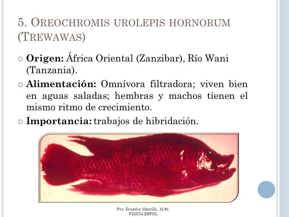 Por: Ecuador Marcillo, M.Sc. FIMCM-ESPOL 5. O REOCHROMIS UROLEPIS HORNORUM (T REWAWAS ) Origen: África Oriental (Zanzibar), Río Wani (Tanzania). Alime