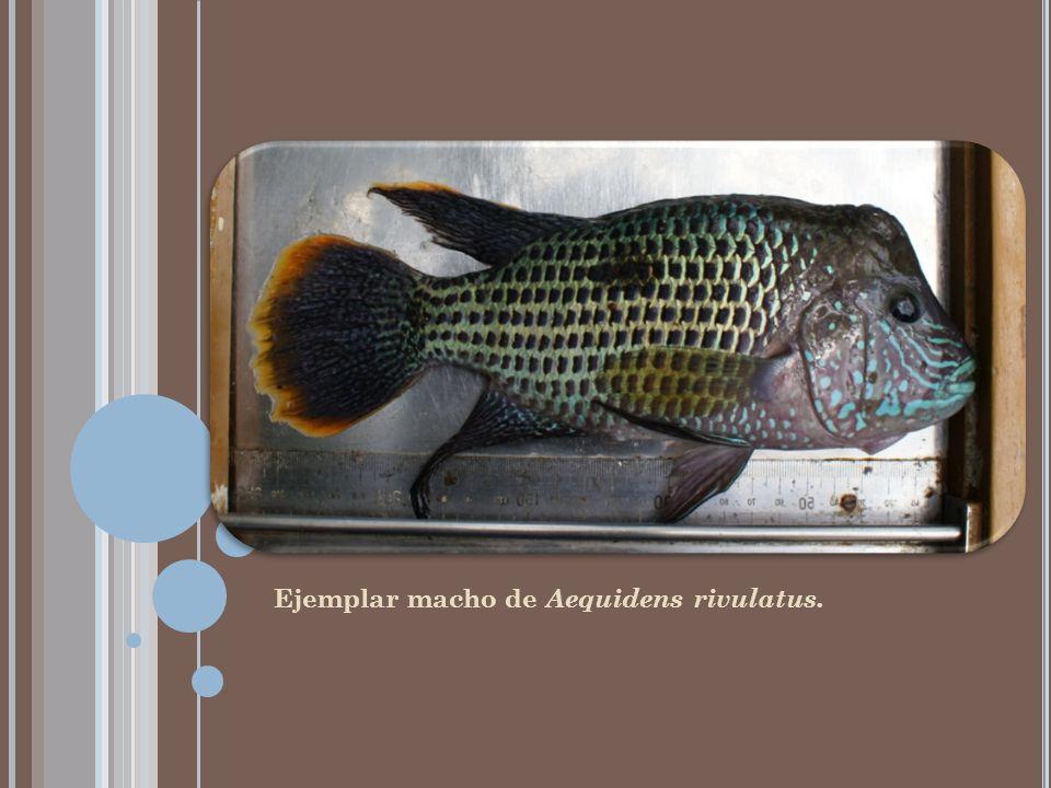 E SPECIES CONOCIDAS DEL GÉNERO O REOCHROMIS Sin embargo, el género Oreochromis tiene muchas más especies ampliamente conocidas.