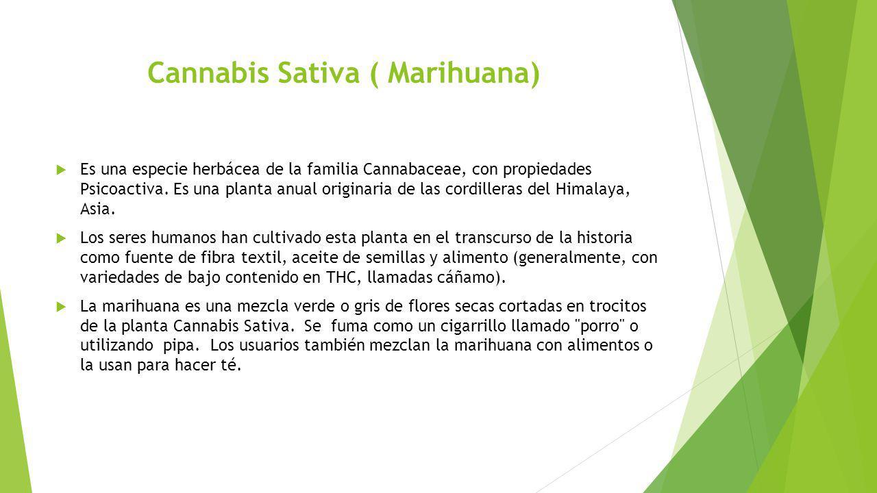 Cannabis Sativa ( Marihuana) Es una especie herbácea de la familia Cannabaceae, con propiedades Psicoactiva. Es una planta anual originaria de las cor