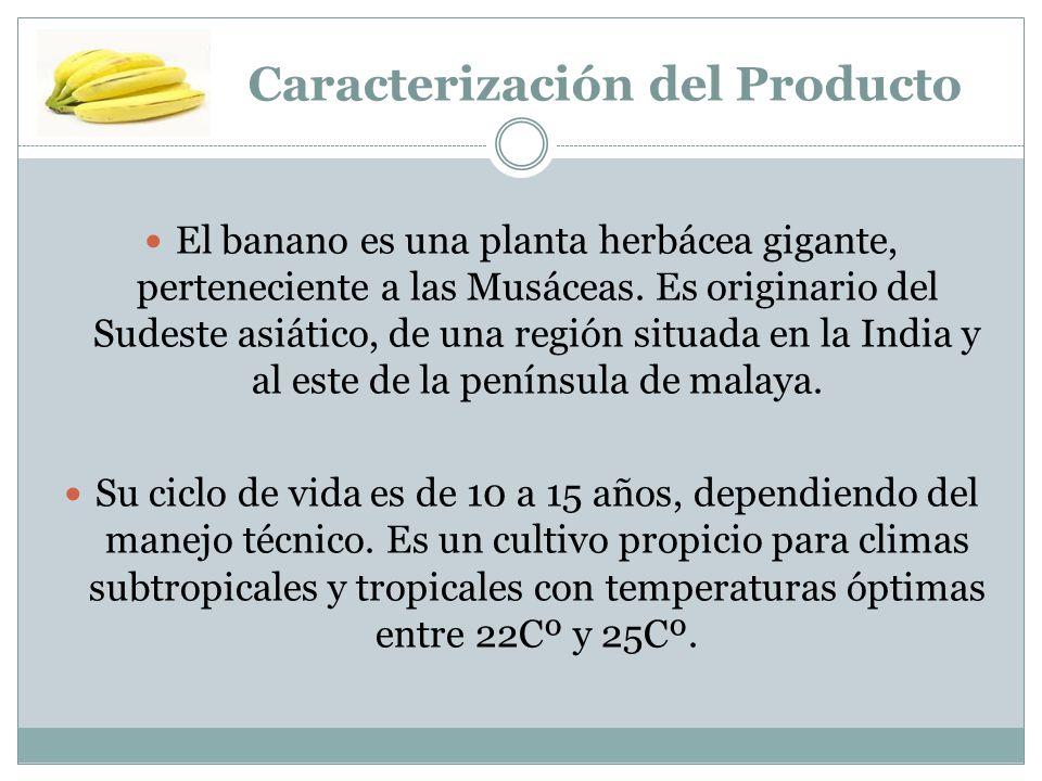 Caracterización del Producto El banano es una planta herbácea gigante, perteneciente a las Musáceas. Es originario del Sudeste asiático, de una región