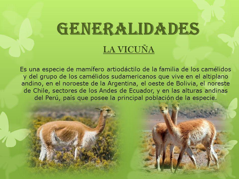 GENERALIDADES LA VICUÑA Es una especie de mamífero artiodáctilo de la familia de los camélidos y del grupo de los camélidos sudamericanos que vive en
