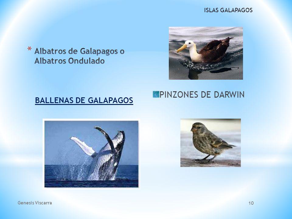 ISLAS GALAPAGOS Pelicanos de Galapagos El nombre científico de estas aves marinas es Pelecanus occidentalis. Se los puede ver comúnmente descansando e