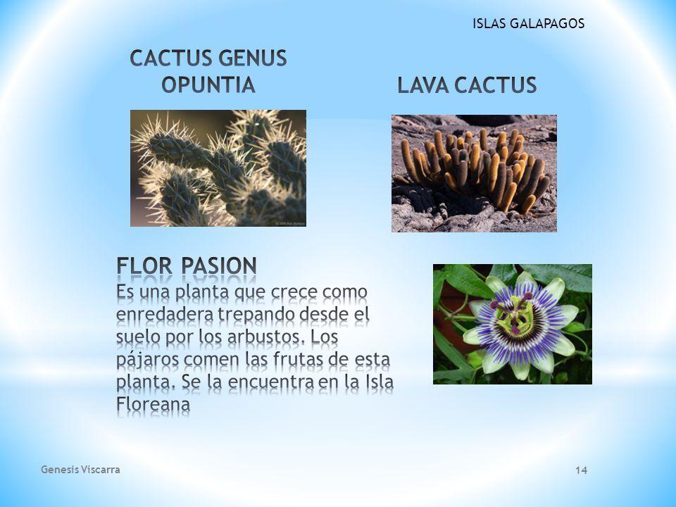 ISLAS GALAPAGOS Scalesia Gordilloi La Flora de Galapagos es considerada como un extraordinario ejemplo de la increíble evolución biológica. No solo qu
