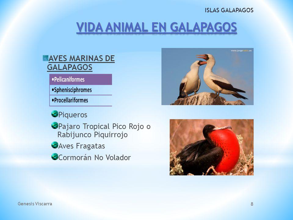 ISLAS GALAPAGOS AVES MARINAS DE GALAPAGOS Piqueros Pajaro Tropical Pico Rojo o Rabijunco Piquirrojo Aves Fragatas Cormorán No Volador Genesis Viscarra 8