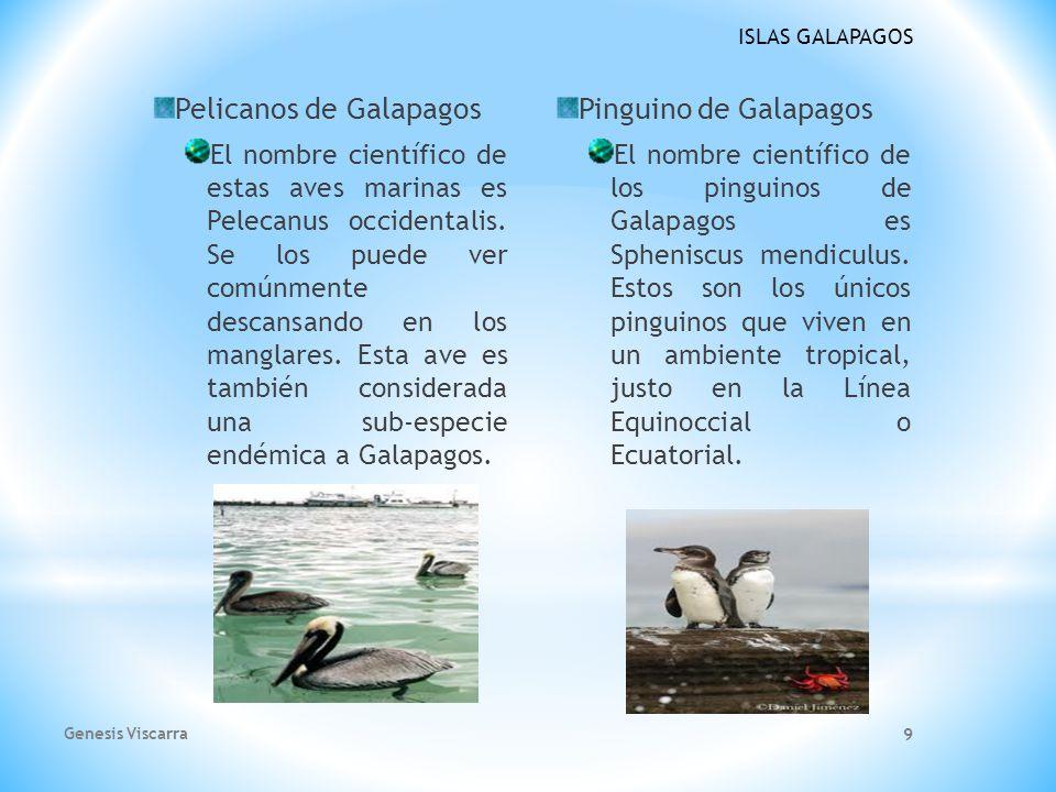 ISLAS GALAPAGOS Pelicanos de Galapagos El nombre científico de estas aves marinas es Pelecanus occidentalis.