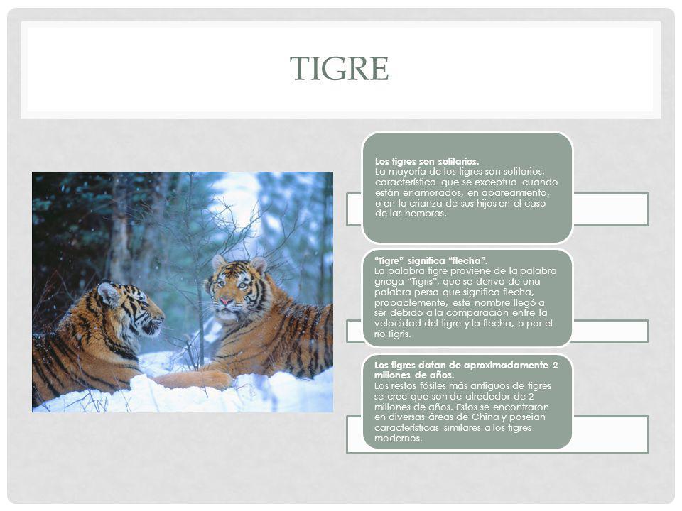TIGRE Los tigres son solitarios.