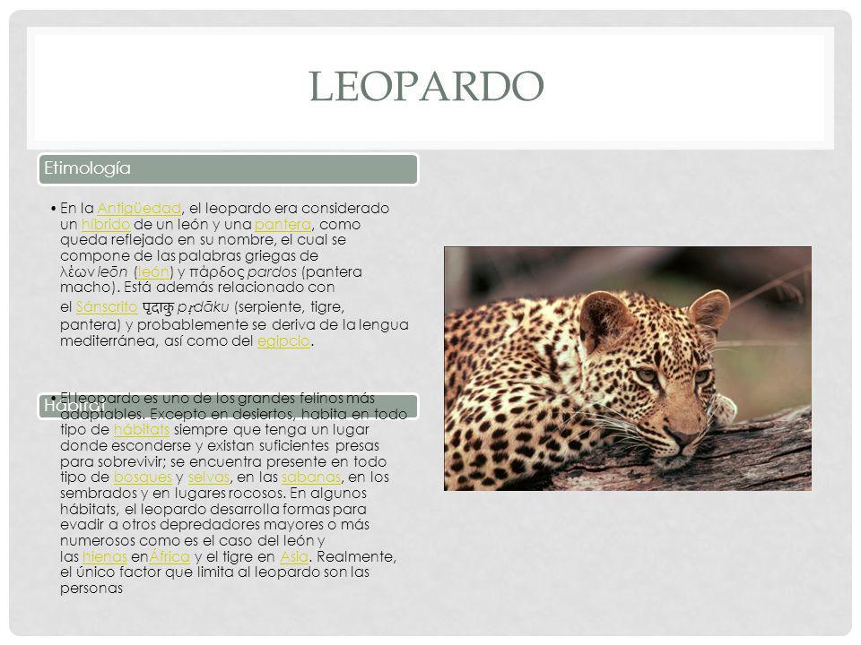 LEOPARDO Etimología En la Antigüedad, el leopardo era considerado un híbrido de un león y una pantera, como queda reflejado en su nombre, el cual se compone de las palabras griegas de λέων leōn (león) y πάρδος pardos (pantera macho).