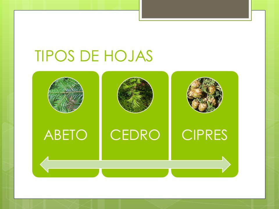 TIPOS DE HOJAS ABETOCEDROCIPRES