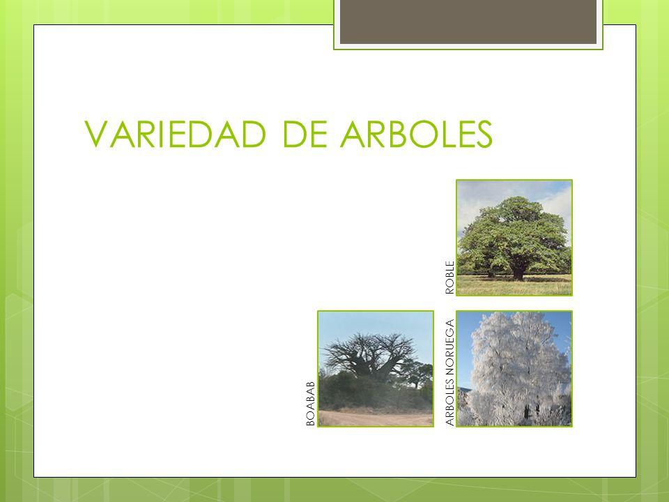 VARIEDAD DE ARBOLES BOABABARBOLES NORUEGAROBLE
