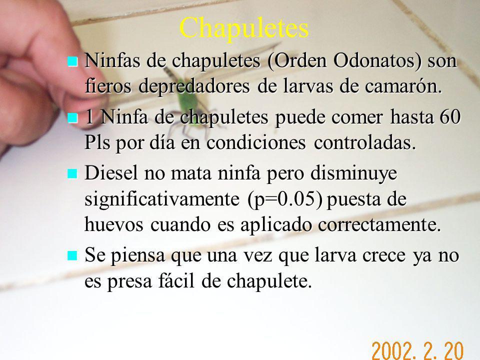 Chapuletes Ninfas de chapuletes (Orden Odonatos) son fieros depredadores de larvas de camarón. Ninfas de chapuletes (Orden Odonatos) son fieros depred