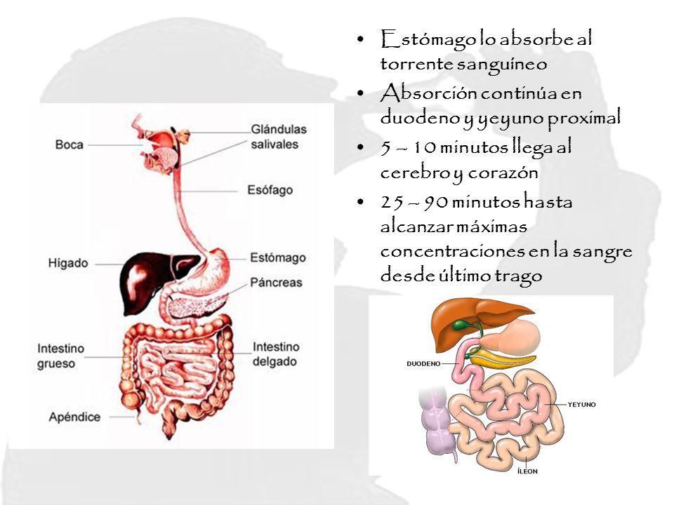 Estómago lo absorbe al torrente sanguíneo Absorción continúa en duodeno y yeyuno proximal 5 – 10 minutos llega al cerebro y corazón 25 – 90 minutos ha