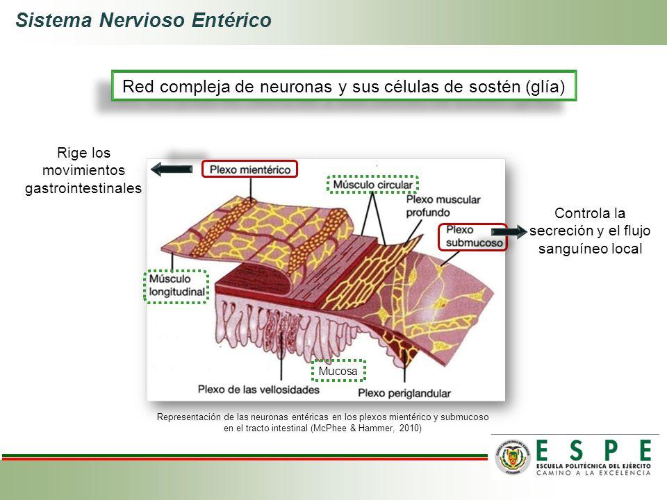 Sistema Nervioso Entérico Representación de las neuronas entéricas en los plexos mientérico y submucoso en el tracto intestinal (McPhee & Hammer, 2010
