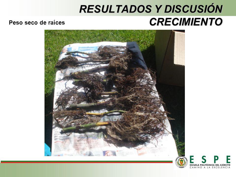 RESULTADOS Y DISCUSIÓN CRECIMIENTO Peso seco de raíces