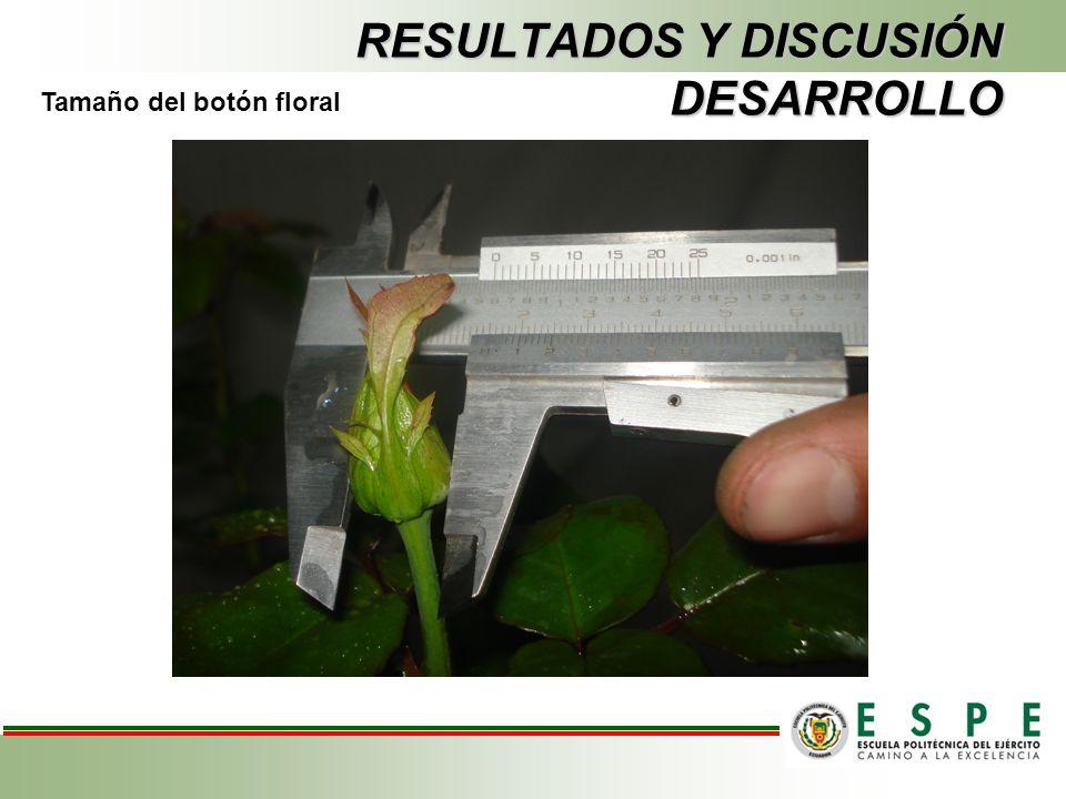 RESULTADOS Y DISCUSIÓN DESARROLLO Tamaño del botón floral