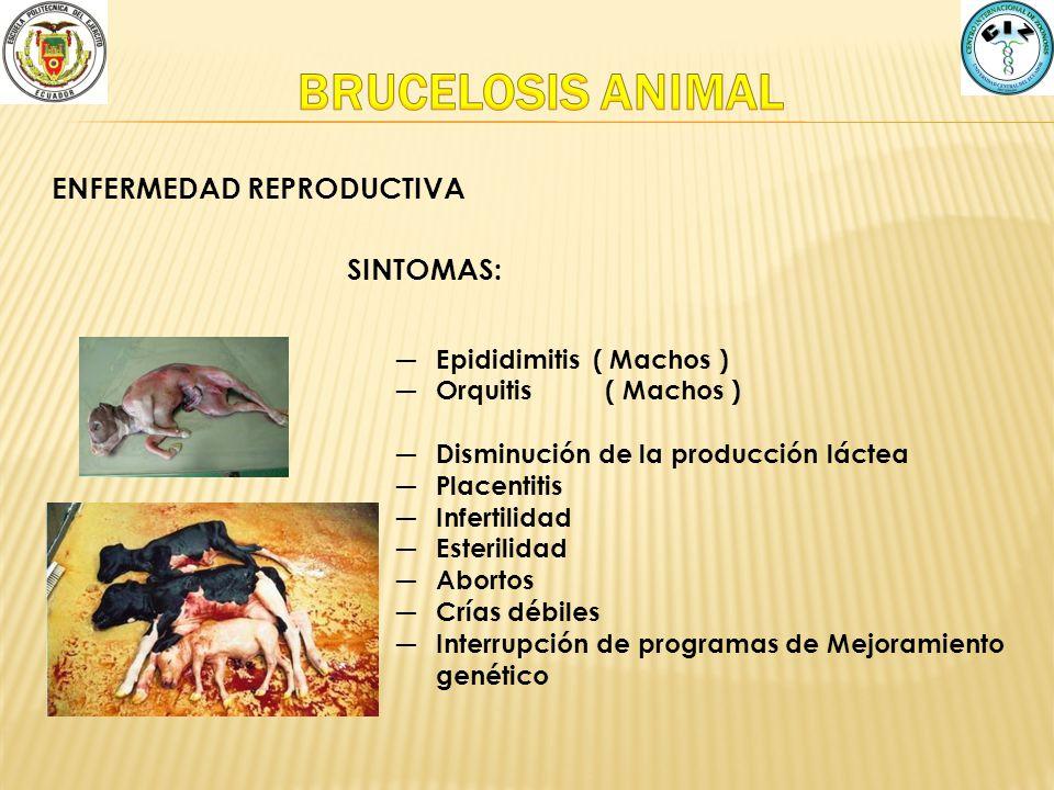 ENFERMEDAD REPRODUCTIVA SINTOMAS: Epididimitis ( Machos ) Orquitis ( Machos ) Disminución de la producción láctea Placentitis Infertilidad Esterilidad