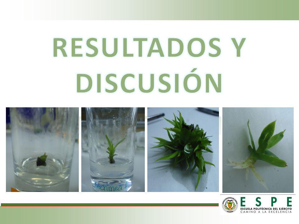Etapa de Desinfección: Contaminación del explante ContaminaciónexplanteContaminaciónexplante Figura 1.
