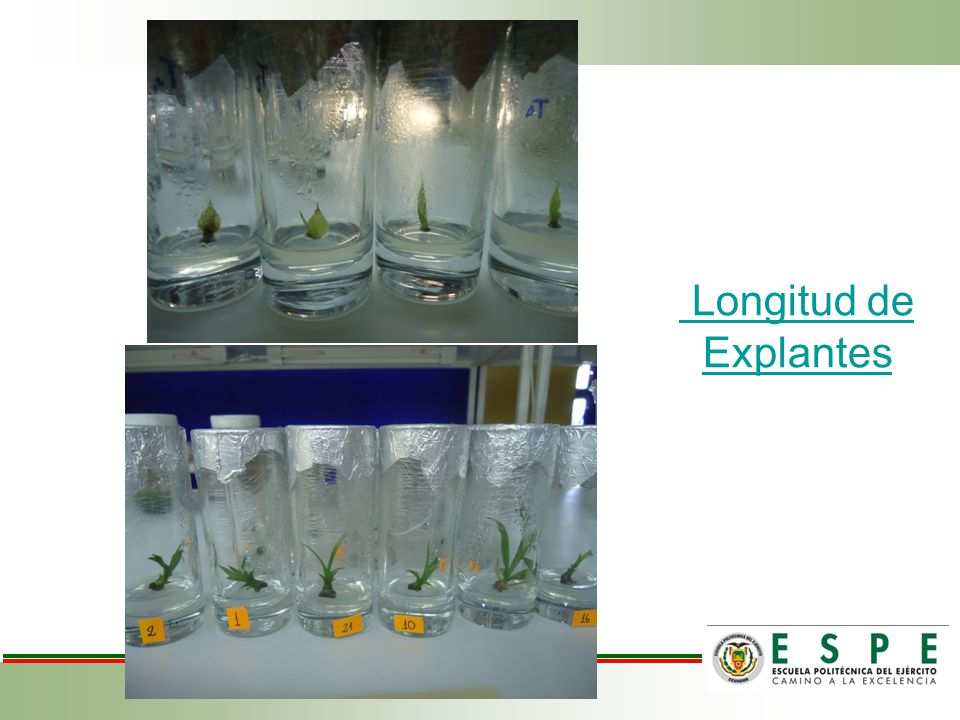 Longitud de Explantes