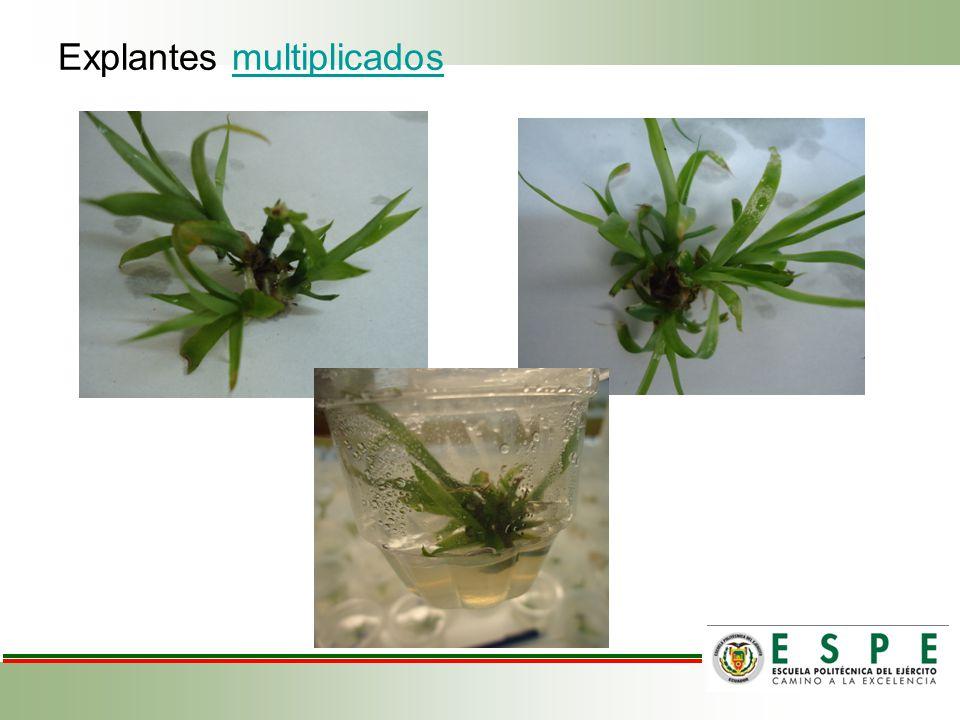 Explantes multiplicadosmultiplicados