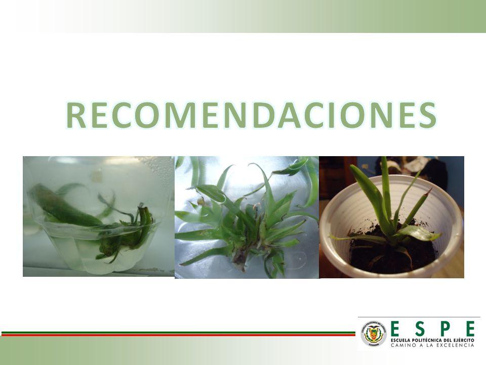 Es importante realizar ensayos previos para encontrar el tratamiento adecuado para la desinfección de las bromelias, sin olvidar que se debe eliminar toda la humedad que puede tener la planta.