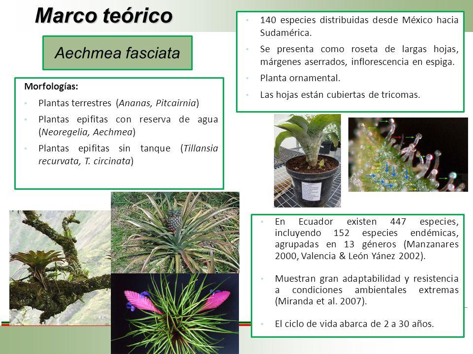 Marco teórico Aechmea fasciata 140 especies distribuidas desde México hacia Sudamérica. Se presenta como roseta de largas hojas, márgenes aserrados, i
