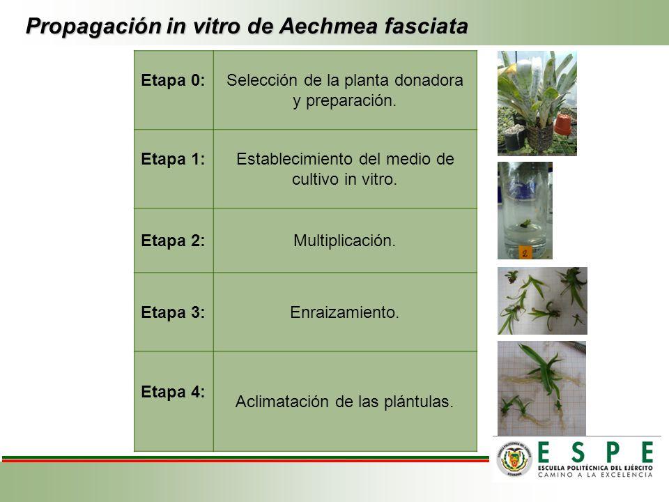 Propagación in vitro de Aechmea fasciata Etapa 0:Selección de la planta donadora y preparación. Etapa 1:Establecimiento del medio de cultivo in vitro.