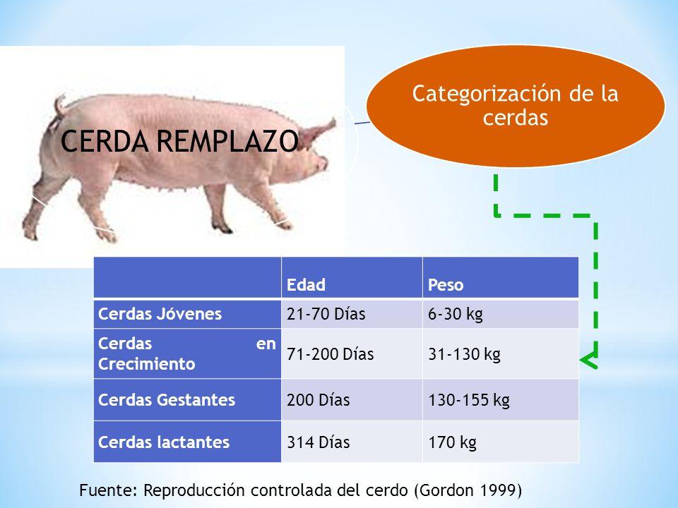 CERDA REMPLAZO Categorización de la cerdas EdadPeso Cerdas Jóvenes21-70 Días6-30 kg Cerdas en Crecimiento 71-200 Días31-130 kg Cerdas Gestantes200 Día