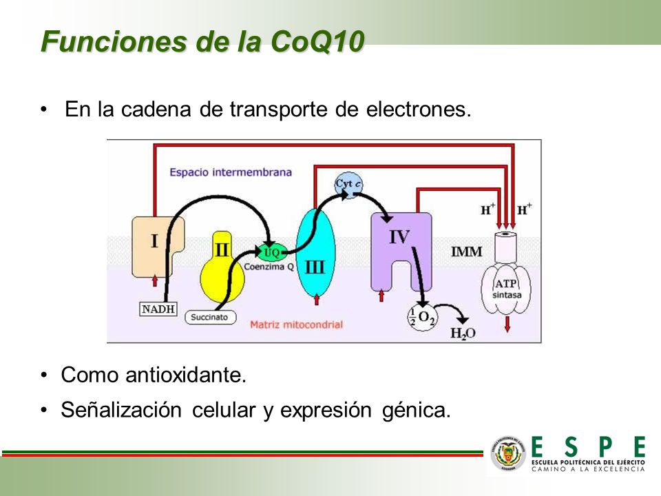 Funciones de la CoQ10 En la cadena de transporte de electrones.