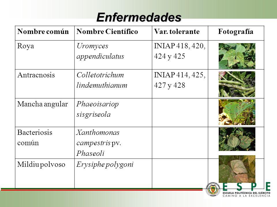 Enfermedades Nombre comúnNombre CientíficoVar. toleranteFotografía Roya Uromyces appendiculatus INIAP 418, 420, 424 y 425 Antracnosis Colletotrichum l
